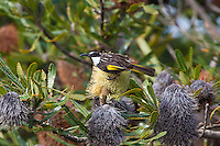 White-Cheeked Honeyeater, Yuragir NP, NSW, Australia