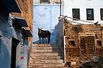 Holy cow at on of the many lanes in Varanasi, Uttar Pradesh, India.