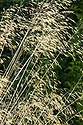Stipa gigantea (Golden Oats), early September. Tall arching stems of golden, oat-like flowerheads above clumps of slender, grey-green leaves.