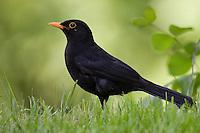 Amsel, Schwarzdrossel, Schwarz - Drossel, Männchen, Turdus merula, Blackbird, Merle noir