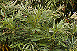 Lyonothamnus floribundus asplenifolius, Catalina Ironwood Tree