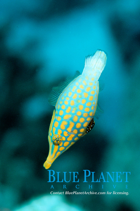 Longnose filefish, Oxymonacanthus longirostris, Rongelap, Marshall Islands, N. Pacific Ocean,