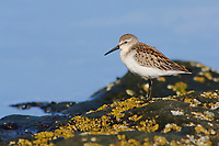 Juvenile Western Sandpiper (Calidris mauri) during fall migration. Neah Bay, Washington. August.