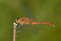 Cherry-faced/Jane's Meadowhawk (Sympetrum sp.) Dragonfly - Male, West Harrison, Westchester County, New York