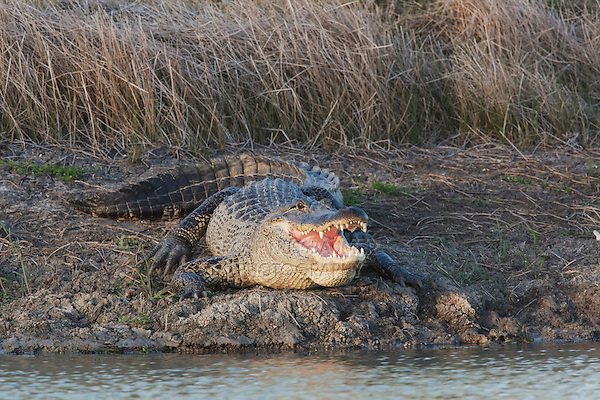 American Alligator (Alligator mississipiensis), mouth open, Sinton, Corpus Christi, Coastal Bend, Texas, USA