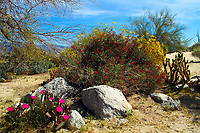 Pink beaver tail cactus flowers, California fuchsias, and goldfields blooming during springtime in Anza-Borrego Desert State Park, California, USA