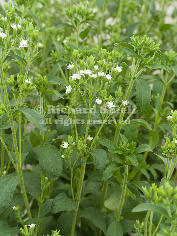 Sweet Honey Leaf Herb, Stevia rebaudiana