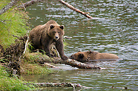 Brown bears, Brooks River, Katmai National Park, southwest, Alaska.