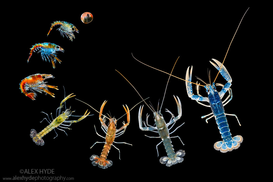 European / Common Lobster (Homarus gammarus) devlopment from egg to adult. Captive for eventual release to replenish wild population. The National Lobster Hatchery, Padstow, Cornwall, UK. May. Digital composite.