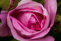 Wyck Roses