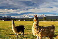 Llamas on farm with Three Sisters Mountains. Oregon