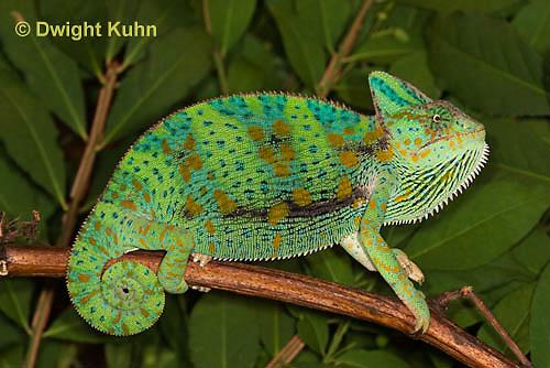 CH39-517z  Female Veiled Chameleon in display colors, Chamaeleo calyptratus