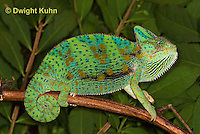 CH39-517z  Female Veiled Chameleon in display colors, Chamaeleo calyptratus
