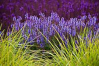 Meadow Sage, Salvia x sylvestris 'Rugen' flowering perennial with Autumn Moor Grass, Sesleria autumnalis, ornamental grass in Lurie Garden at Millenium Park, Chicago
