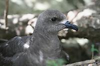 Intermediate Kermadec Petrel breeding on Phillip Island near Norfolk Island