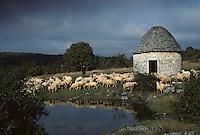 Europe/France/Midi-Pyrénées/46/Lot/Parc Naturel Régional des Causses du Quercy/Causse de Livernon/Env Livernon: Gariotte et brebis sur causse
