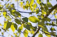 Balsam-Pappel, Balsampappel, Blatt, Blätter, Populus balsamifera, Populus tacamahaca, balsam poplar, bam, bamtree, eastern balsam-poplar, hackmatack, tacamahac poplar, tacamahaca, leaf, leaves, Le Peuplier baumier