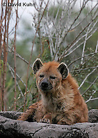 0213-08rr  Spotted Hyena, Laughing Hyena, Crocuta crocuta © David Kuhn/Dwight Kuhn Photography