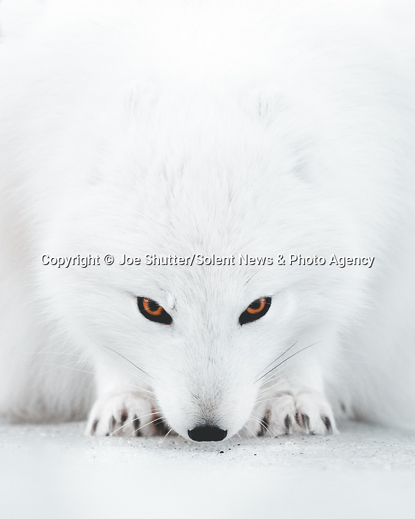 "Piercing orange eyes of an Arctic fox stand out against its white coat and its snowy surroundings as it stares at a photographer.<br /> <br /> The image was taken in the valley of Thorsmork in southern Iceland by professional photographer Joe Hall, 32.<br /> <br /> Mr Hall, who is from London but lives in Reykjavik said, ""This is an Arctic fox in the white morph - they transition to this colour from their summer colour, however some do remain in the blue morph all year round.""<br /> <br /> ""For a fraction of a second, I managed to catch the fox staring at me.   It was a powerful moment, one which I won't forget too quickly.   The Arctic fox is like a ghost, especially in winter.  It moves silently and can rarely be seen.""<br /> <br /> Please byline: Joe Shutter/Solent News<br /> <br /> © Joe Shutter/Solent News & Photo Agency<br /> UK +44 (0) 2380 458800"
