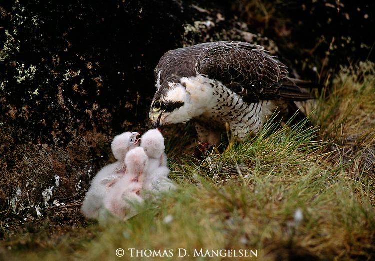 Peregrine Falcon parent feeding three chicks at the nest.