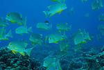 Sailfin snapper in big schools?Symphorichthys spilurus.Rowley Shoals, Western Australia