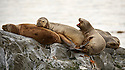 A pile of Patagonian sea lions pass the time on a rock in the Beagle Channel.