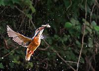 Eisvogel, Eis-Vogel, im Flug mit erbeutetem Fischchen, Eisvögel, Alcedo atthis, Kingfisher, Martin-pêcheur d'Europe