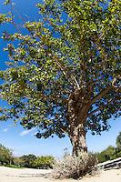 Weißer Maulbeerbaum, Weiße Maulbeere, Morus alba, white mulberry, Silkworm mulberry, Maulbeergewächse, Moraceae