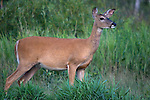 White-tailed doe standing in a field in summer.  Winter, WI.