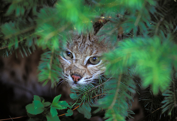 Bobcat hides in wait for unsuspecting prey to walk by. Rocky Mountains. (Felis rufus).