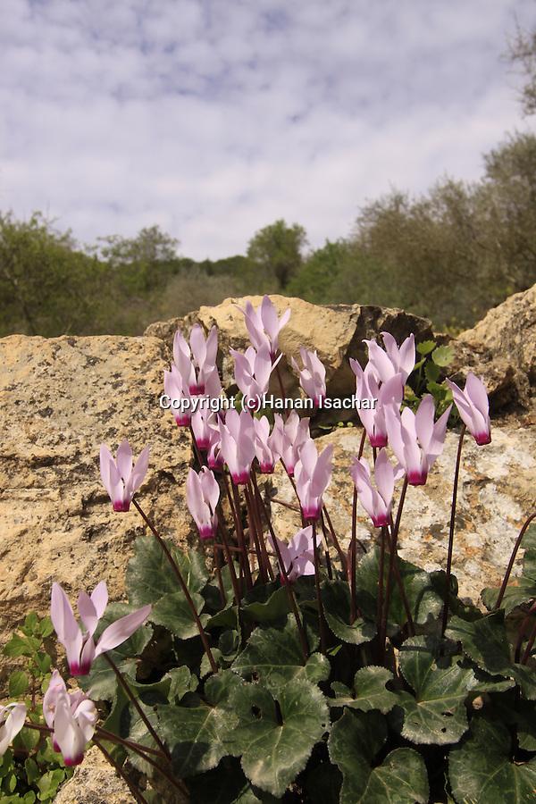 Israel, Jerusalem Mountains. Cyclamen flowers in Sataf