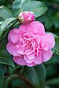 Camellia x williamsii 'Debbie' (japonica x saluenensis), late March.