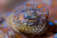 The eye of the flounder in the Lembeh Strait in the Lembeh Strait