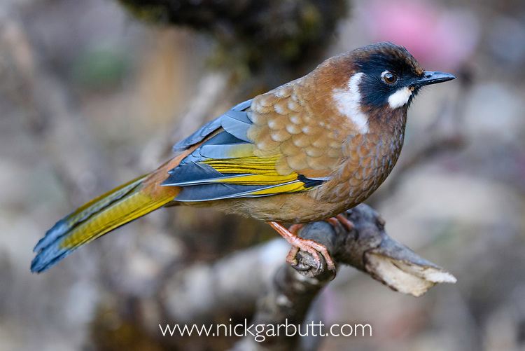 Adult black-faced laughing thrush (Garrulax affinis) foraging in the understory. Mid montane forest, Himalayan foothills, Singalila National Park, India.