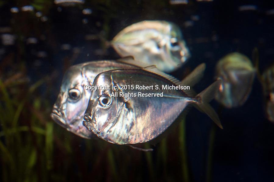 Atlantic Moonfish swimming left