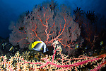 Butterfly and Gorgonian