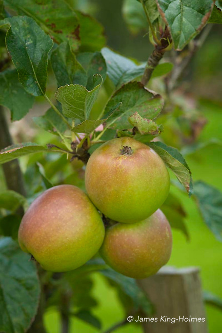 Sturmer Pippin apples. An old English eating apple with keeping ability enabling it to be widely transported in the nineteenth century.