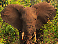 Africa, Uganda , Queen Elisabeth park, ISHASHA sector, elephant