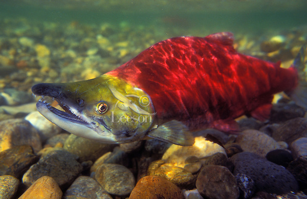 Sockeye Salmon male migrating upstream to spawning grounds..Sockeye turn red after they leave salt water and move into fresh water..Adams River, British Columbia. Pacific Coast..(Oncorhynchus nerka).