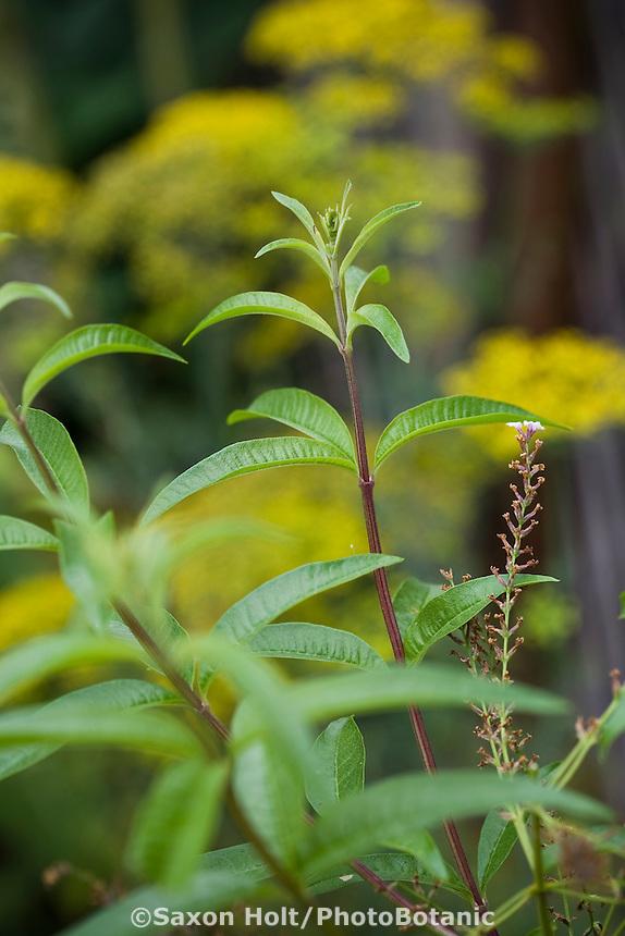lemon verbena, Aloysia triphylla, herb in organic vegetable garden