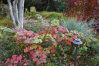 Vitis californica, California wild grape vine in fall (autumn) color weaving through meadow garden