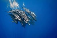 false killer whale, Pseudorca crassidens, pod, Azores, Portugal, Atlantic Ocean