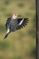 Golden-fronted Woodpecker (Melanerpes aurifrons), male landing with berries, Sinton, Corpus Christi, Coastal Bend, Texas, USA