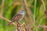 578930001 a wild swamp sparrow melospiza georgiana perches on dead cattail reeds on south padre island cameron county texas united states