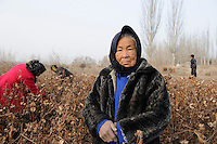 Asien CHINA Provinz Xinjiang Kashgar , uigurische Frauen pfluecken Baumwolle im Winter / CHINA province Xinjing Kashgar , uyghur women harvest cotton during winter