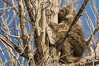 North American porcupine (Erethizon dorsatum), also known as the Canadian porcupine or common porcupine, resting during early winter in the top of a large cottonwood tree.  Utah. (Looks almost like an Australian Koala.)