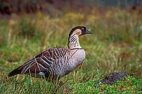 nene bird or Hawaiian goose, Branta sandvicensis, endangered and endemic, Haleakala, Maui, Hawaii, USA