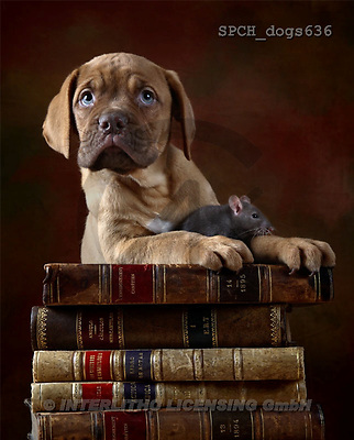 Xavier, ANIMALS, dogs, photos(SPCHdogs636,#A#) Hunde, perros