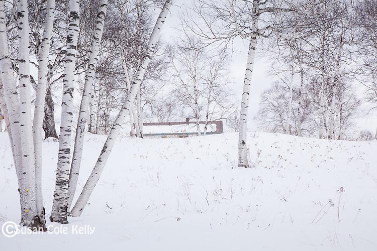 A Birch grove in Reading, VT, USA