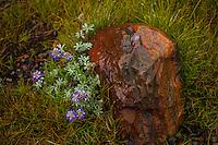 Lupines and Granite, Mono Pass Trail, Yosemite
